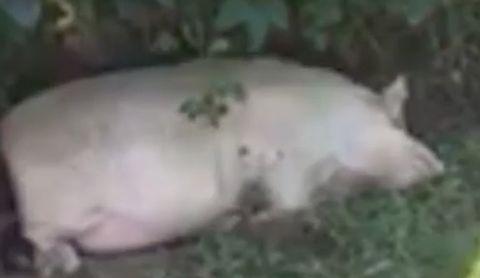 Domestic pig, Suidae, Snout, Dogo argentino, Wildlife, Rhinoceros,