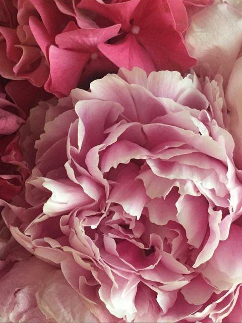 Flower, Flowering plant, Petal, Pink, Garden roses, Rose, Rosa × centifolia, Plant, common peony, Rose family,