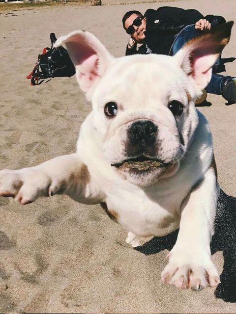 Dog, Mammal, Vertebrate, Dog breed, Canidae, French bulldog, Toy bulldog, Snout, Bulldog, Non-Sporting Group,
