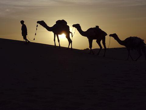 Camel, Arabian camel, Desert, Natural environment, Camelid, Aeolian landform, Landscape, Sand, Sky, Morning,