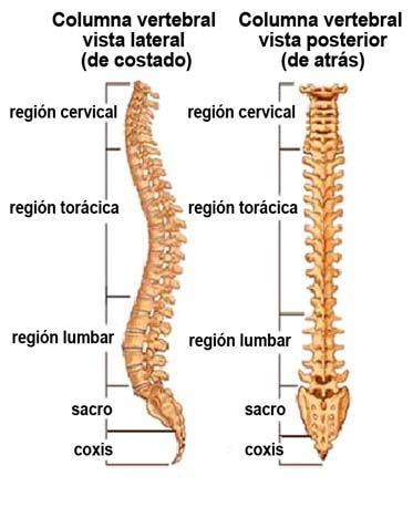 10 órganos Vestigiales