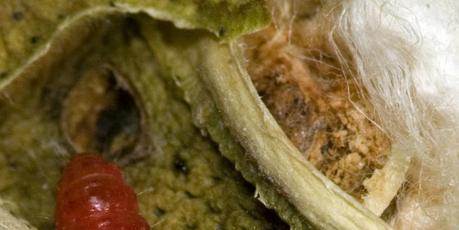 Incremento de la resistencia de los insectos a las plantas GMO