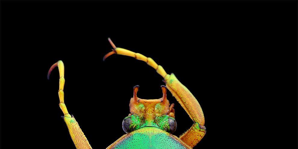 Los escarabajos más bellos del mundo