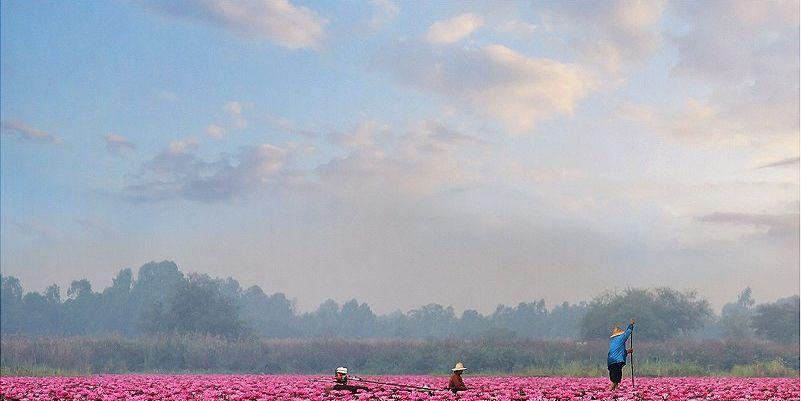 Tras diez años, vuelven a florecer los lotos en Tailandia