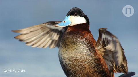 Así de extraño, grande y enigmático es el pene de un pato