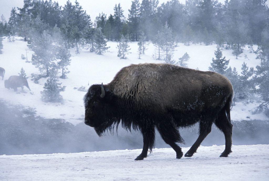 Canadá celebra el retorno del bisonte salvaje