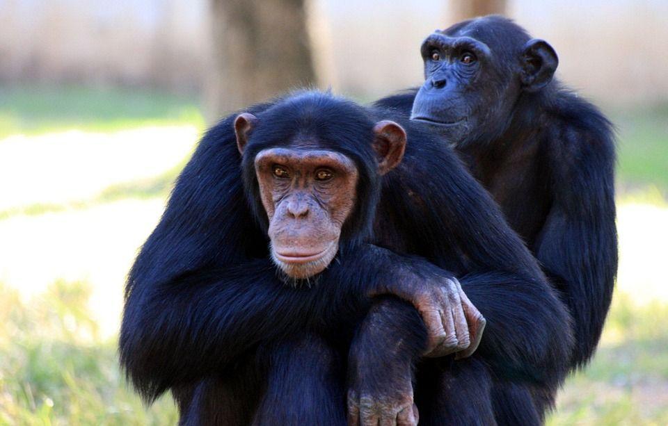 ¿Por qué los chimpancés son más fuertes que los humanos?