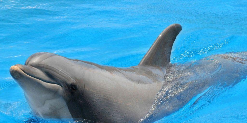 Los delfines macho ofrecen regalos para poder aparearse