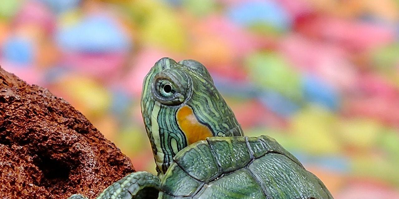 Descubren por qué las tortugas tienen caparazón