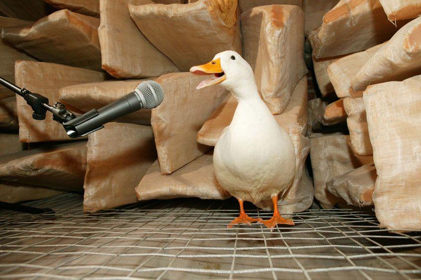Resultado de imagen para eco del quack de los patos