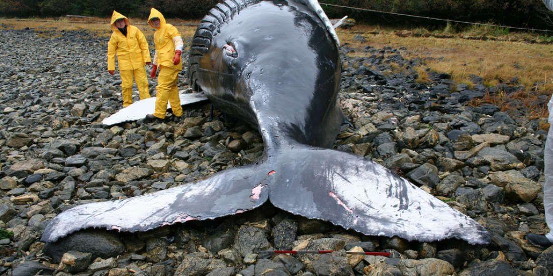 ¿Están las tormentas solares matando ballenas?