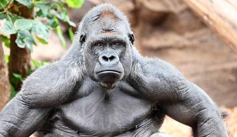 Descubren que algunos simios tienen músculos que se consideraban ...