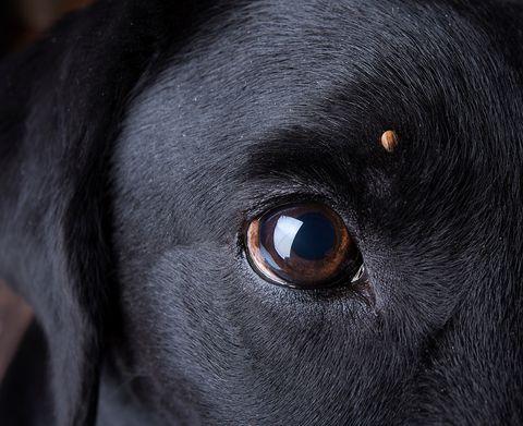 Garrapata en ojo de perro