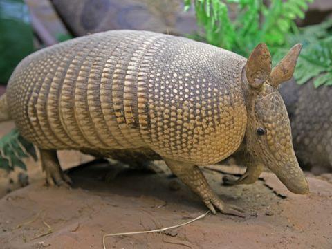 Armadillo, Vertebrate, Terrestrial animal, Mammal, Cingulata, Snout, Organism, Rhinoceros, Wildlife, Adaptation,