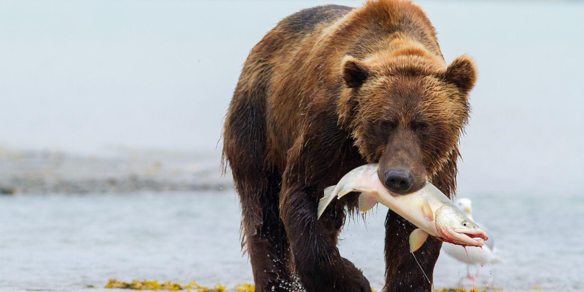 Los osos grizzly han decidido volverse vegetarianos
