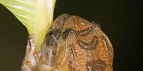 2703636c9 En el mundo existen alrededor de seis mil quinientas especies distintas de  ranas. Pero