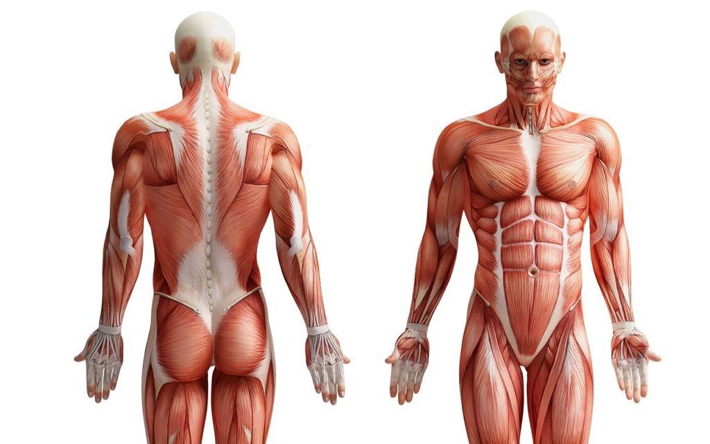 Los 4 órganos más misteriosos del cuerpo humano
