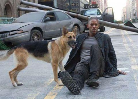 Dog, Mammal, Vertebrate, Canidae, Carnivore, Dog breed, Police dog, Street dog, German shepherd dog, Working dog,