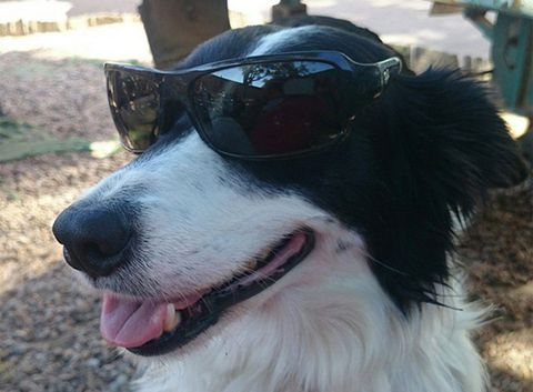Dog, Vertebrate, Canidae, Mammal, Dog breed, Border collie, Sunglasses, Snout, Carnivore, Eyewear,
