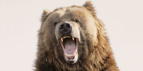 Grizzly Bear 25 Toughest Lede