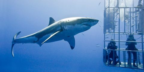Why Cage Divers Don't Become Shark Bait