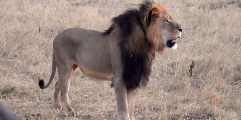 A Powerful New Essay May Make You Re-Think the Cecil the Lion Saga
