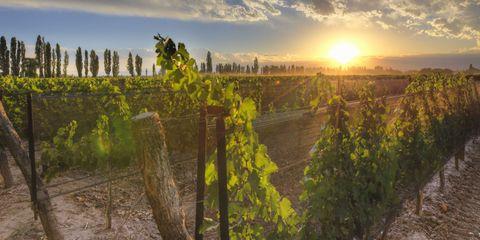 Agriculture, Field, Sunrise, Horizon, Farm, Sun, Sunlight, Rural area, Plantation, Crop,