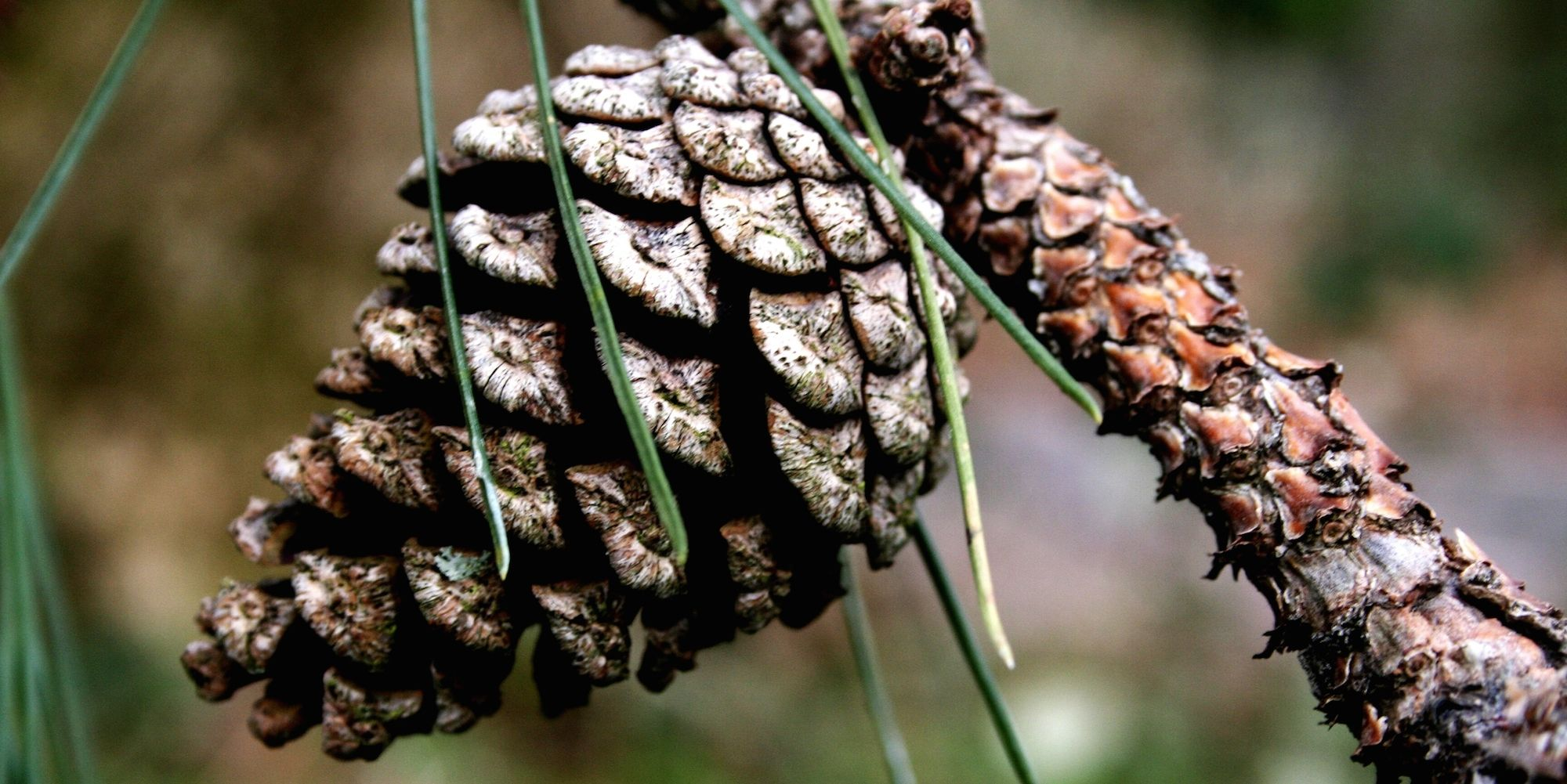 New Nature Thing to Be Afraid of: 16-Pound Pine Cones