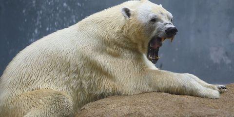 Nature, Daytime, Organism, Polar bear, Vertebrate, Photograph, Bear, Carnivore, Facial expression, Jaw,