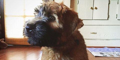 Dog breed, Wood, Flooring, Floor, Dog, Carnivore, Hardwood, Wood stain, Cupboard, Cabinetry,