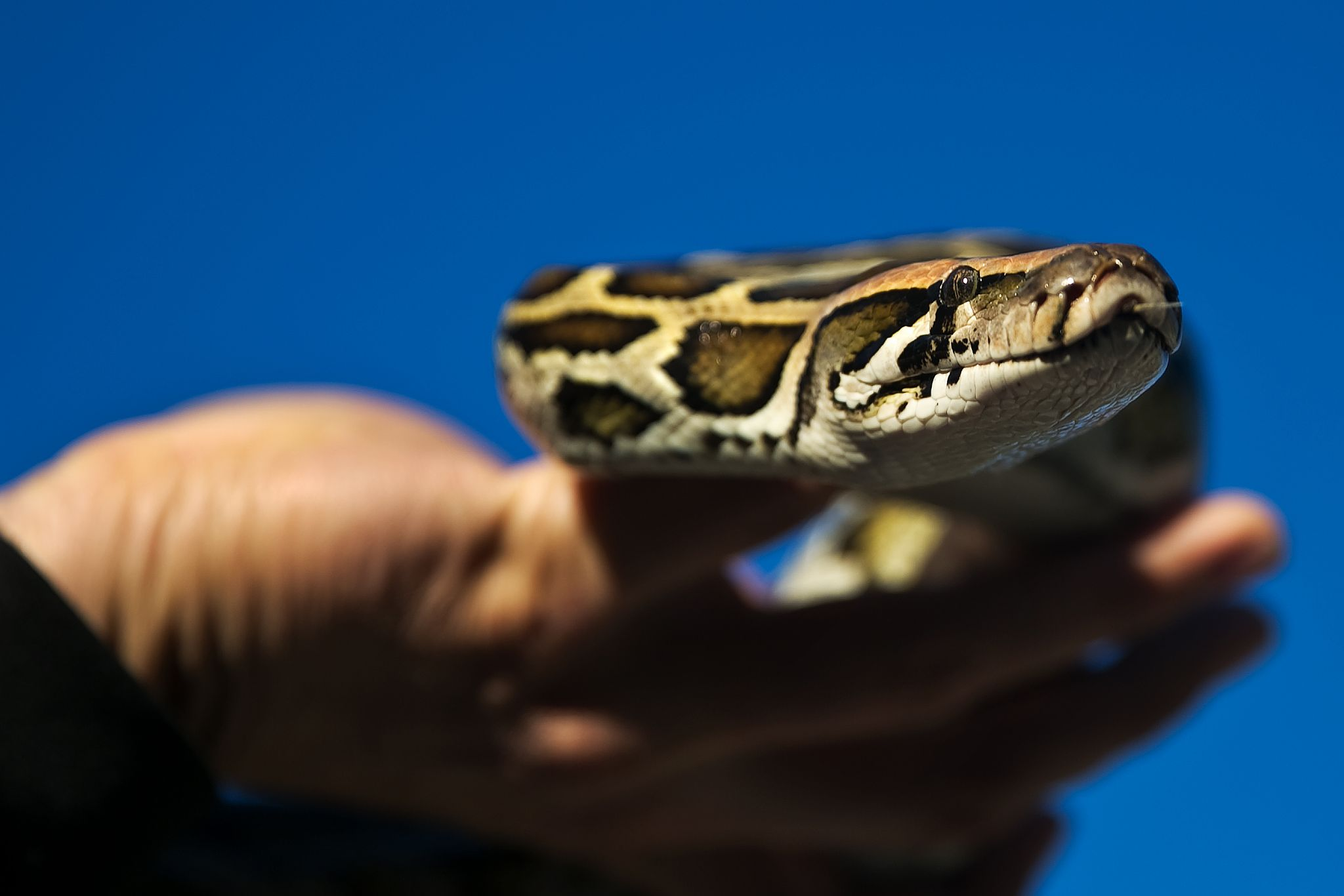 Five Days in the Glades with Florida's Wild Python Hunters