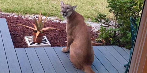 Florida Man Catches Florida Panther Chilling on His Front Porch