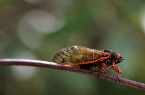 Billions of Cicadas Are About to Invade the East Coast