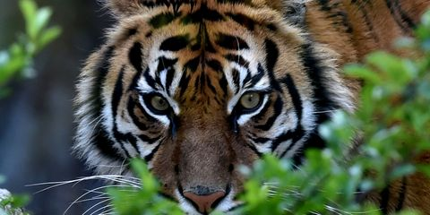 a tiger crouches behind green leaves