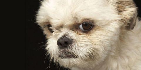 Dog breed, Carnivore, Dog, Vertebrate, Mammal, Toy dog, Puppy, Snout, Working animal, Companion dog,