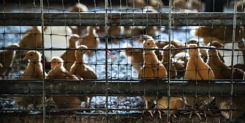 Factory Farming 140 Chickens Per Minute Allegedly Forces Workers to Wear Diapers on Assembly Lines