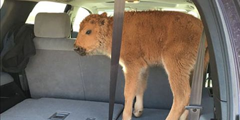 a bison calf stands in the back of an SUV