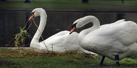 Nature, Daytime, Bird, Vertebrate, Ducks, geese and swans, Water bird, White, Beak, Waterfowl, Adaptation,