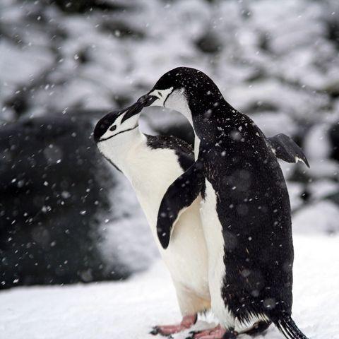 Penguin, Natural environment, Organism, Vertebrate, Bird, Beak, Freezing, Flightless bird, Snow, Winter,