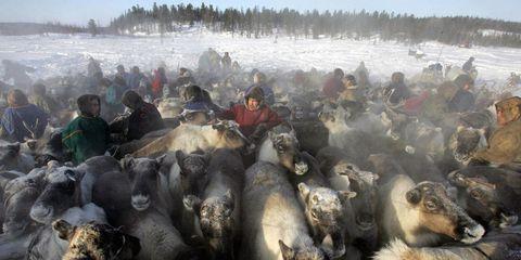 Winter, Adaptation, Herd, Terrestrial animal, Freezing, Snout, Snow, Fur, Herding, Livestock,