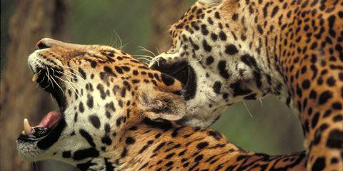 Organism, Natural environment, Vertebrate, Big cats, Terrestrial animal, Landscape, Pattern, Whiskers, Snout, Carnivore,