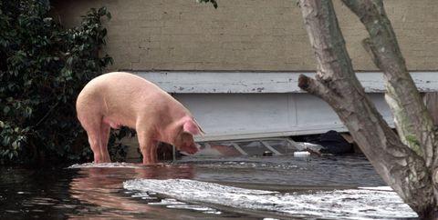 Domestic pig, Suidae, Terrestrial animal, Snout, Zoo,