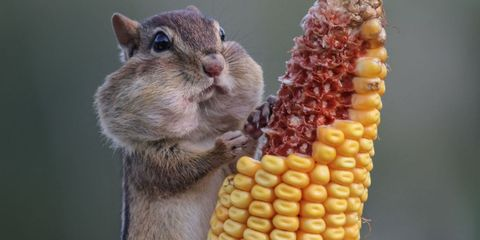 Corn kernels, Corn, Squirrel, Ingredient, Sweet corn, Adaptation, Rodent, Produce, Fawn, Snout,