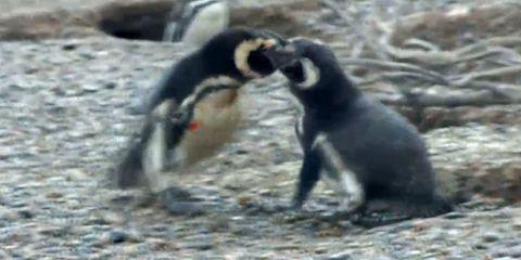 penguin-fight