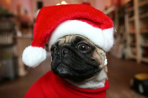 Dog, Pug, Carnivore, Red, Mammal, Snout, Toy dog, Holiday, Carmine, Dog breed,