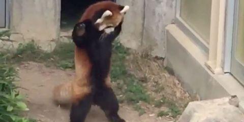 Mammal, Vertebrate, Red panda, Panda, Zoo, Carnivore, Bear,