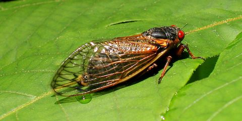 Insect, Invertebrate, Cicada, Pest, Fly, Net-winged insects, Bug, Tachinidae, house fly, blowflies,