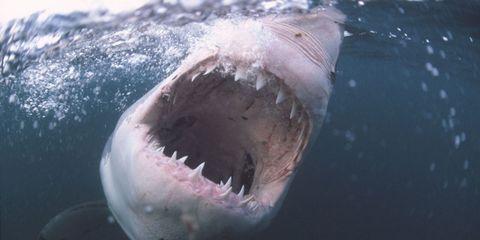 Great white shark, Shark, Fish, Lamniformes, Cartilaginous fish, Lamnidae, Tiger shark, Water, Requiem shark, Sand tiger shark,