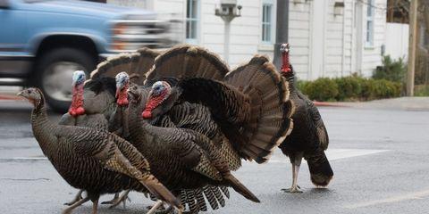 Domesticated turkey, Turkey, Automotive tire, Wild turkey, Bird, Phasianidae, Road surface, Galliformes, Asphalt, Feather,