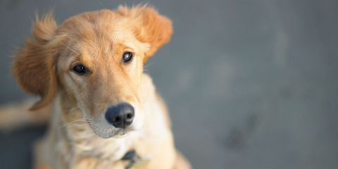 Dog breed, Dog, Carnivore, Vertebrate, Mammal, Sporting Group, Whiskers, Snout, Fawn, Working animal,